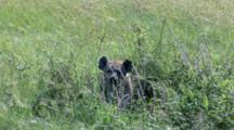 A Spotted Hyena Pup Hides In The Tall Grass