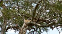 A Leopard  Sleeping In A Tree Spots A Lion Nearby.