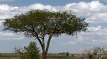 A Leopard  On Alert In A Tree