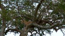 A Leopard  In A Tree Watches A Lion Entering His Territory