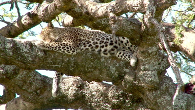 A Hot Leopard In A Tree Tries To Get Comfortable