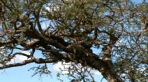A Leopard Sleeps In An Acacia Tree With His Kill On A Limb Below