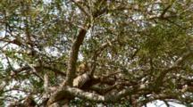 Zoom Out A Leopard In A Tree Watching A Lion Enter His Territory