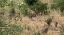 Warthogs Graze In The Grass