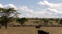 Wildebeest Line Up For The Migration With Excited Males In The Forefront