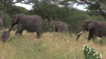 Elephant Herd Graze Among The Hibiscus Plants
