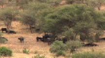 Cape Buffalo Seek Shade