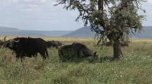 Cape Buffalo Graze