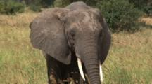 Close Up Of En Elephant