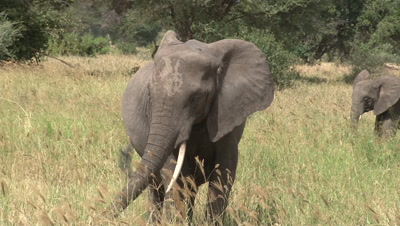 Close Up Of An Elephant Grazing