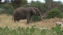 Elephant Lumbers Towards Viewer