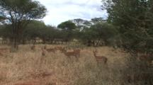 Male Impalas Lock Horns In Play