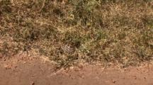 Leopard Tortoise Crawls Into The Dried Grass By The Road