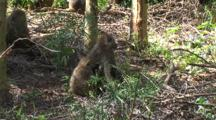 Olive Baboon Juvenile Grooms An Adult