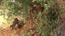 Mongooses Come Out Of Their Den In A Tree Trunk