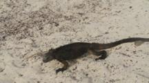 Galapagos Marine Iguana Crawling On The Sand 1 Of 5