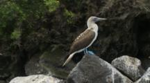 Galapagos Blue-Footed Booby On A Rock As Seen From A Zodiac