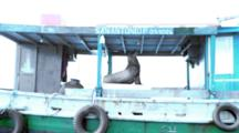 Adult Male Galapagos Sea Lion On A Fishing Boat As Seen From A Boat 1 Of 2
