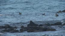 Galapagos Brown Pelicans Diving 2 Of 2