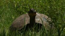 Galapagos Giant Tortoise In The Highlands