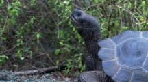 Galapagos Giant Tortoise In The Highlands Head Shots 2 Of 2