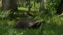 Galapagos Giant Tortoise Walking In Grasslands 2 Of 3