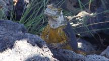 A Beautiful Male Land Iguana On Plazas Sur Island 6 Of 7