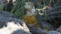 A Beautiful Male Land Iguana On Plazas Sur Island 7 Of 7