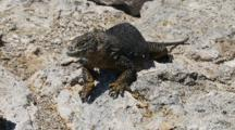A Female Land Iguana On Plazas Sur Island Seeks The Shade 4 0f 7