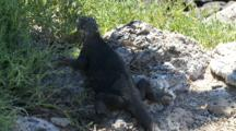 A Female Land Iguana On Plazas Sur Island Seeks The Shade 5 0f 7