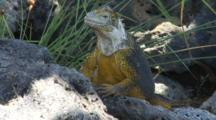 A Beautiful Male Land Iguana On Plazas Sur Island #8