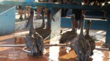Galapagos Brown Pelicans And A Galapagos Sea Lion At A Fish Market