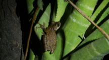 Common Bromeliad Treefrog On A Leaf