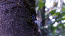 Lystra Lanata Fulgoridae On A Tree With A Vine