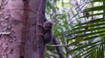 Pygmy Marmoset Pauses And Licks His Mouth