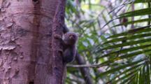 Pygmy Marmoset Pauses And Looks Around
