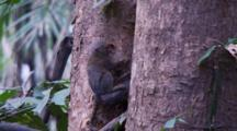 Pygmy Marmoset Crawls On A Tree And Digs Out Sap