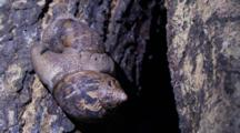 Large Snails Copulating On A Tree