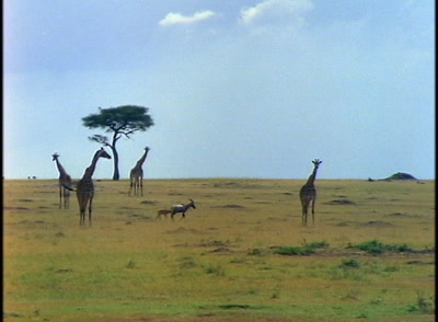 Giraffes And Antelope On The Open Plain