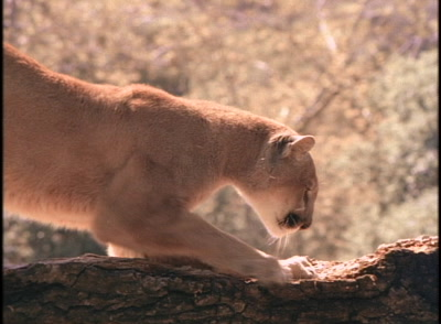 Cougar Sharpens Claws On Log