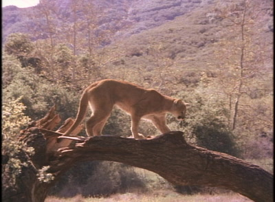 Cougar Stands On Fallen Tree Trunk