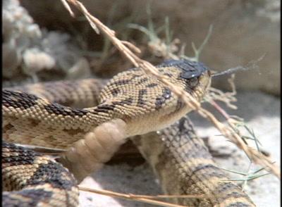 Rattlesnake Showing Rattle