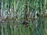 Grebe Chick Swimming