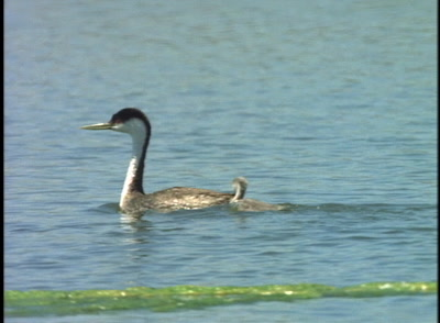 Grebes, One Swims With Chick On Its Back