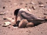 Tern Sits On Eggs, Shell In The Way
