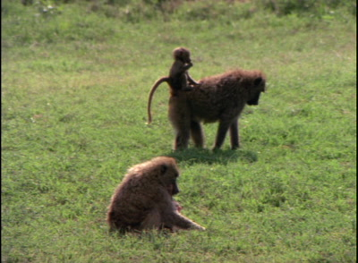 Baboons Feed, One Carries Baby On Its Back