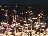 Flamingos, Some Take Flight