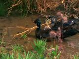 Pair Of Ducks With Ducklings (Possibly Wood Ducks)