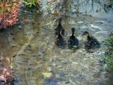 Ducklings Walk Through Shallow Water