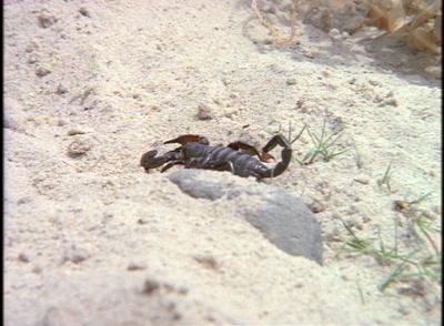 Scorpion Walks